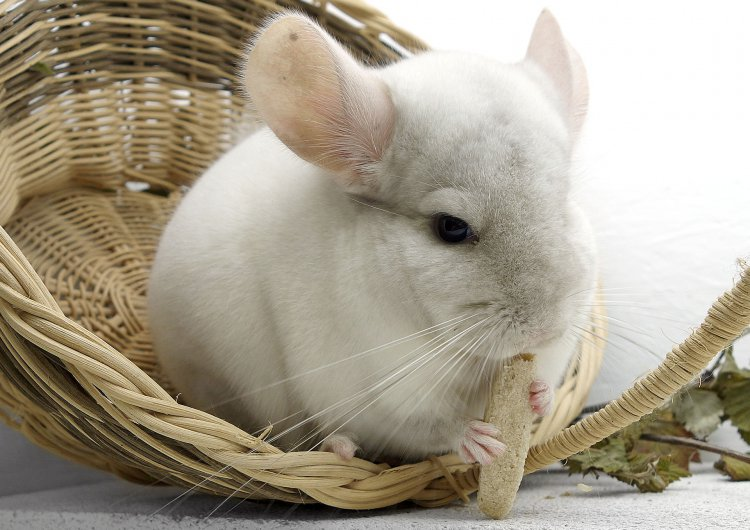 epilepsy in the chinchilla