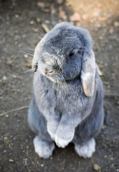 How to treat a miniature rabbit?