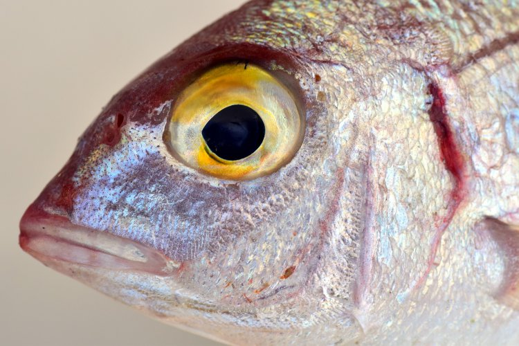 how to treat eye exophthalmos in fish
