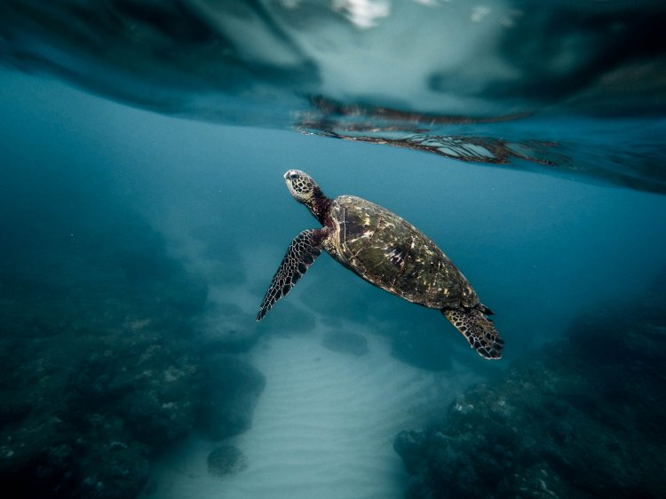 Marine turtles of Australia