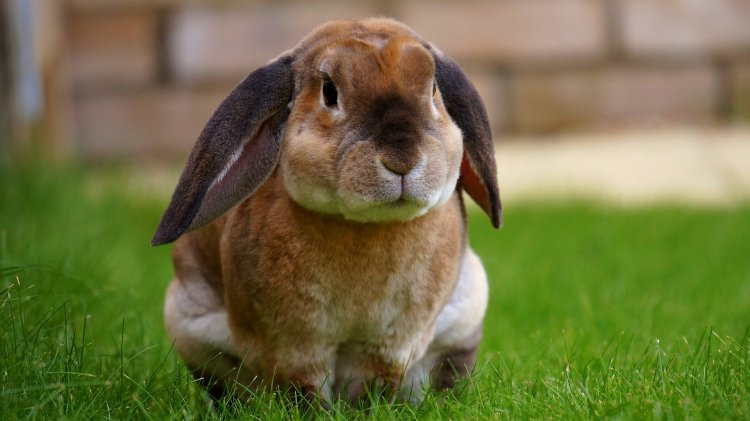 middle ear infection in a rabbit